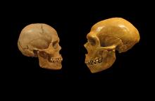 220px-Sapiens_neanderthal_comparison_en_blackbackground.png
